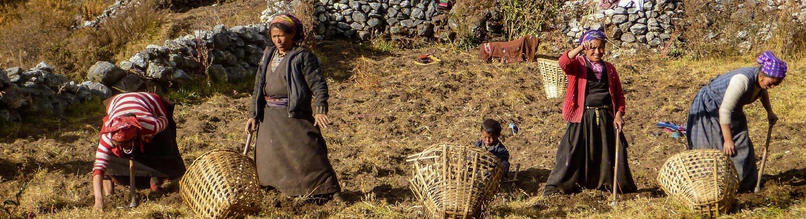 Les femmes tibétaines travaillent dans une ferme de pommes de terre dans la vallée de Manaslu